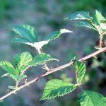 jeunes-feuilles-ronce
